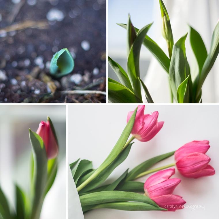 a-tulip-story-logo