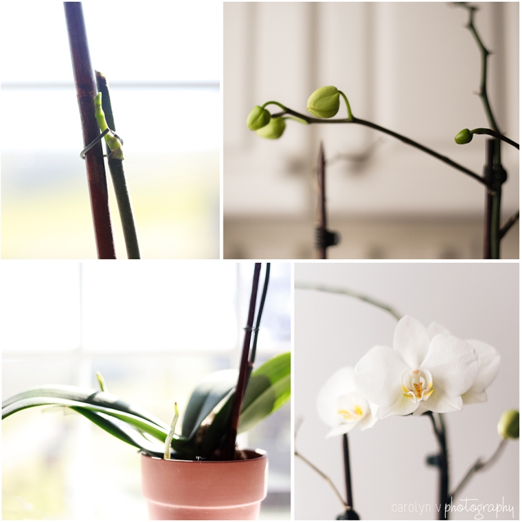 The Growth of an Orchid logo